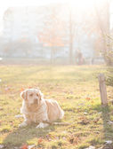 Golden retriever dog in sunlight — Stock Photo