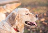 Portrait of golden retriever — Stock Photo