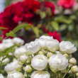 Red and white little roses — Stock Photo