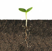 Plant by the roots in the ground — Stock Photo