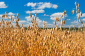 Field of oats in front of a blue sky. Harvest season — Stock Photo