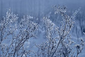 Winter forest, the plants covered with frost — Stock Photo