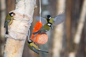 Tit birds on a bird feeder — Stock Photo