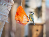 Tit bird on a bird feeder — Stock Photo