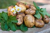 Fresh organic potatoes closeup on wooden board — Stock Photo