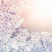 White spirea flowers. — Stock Photo