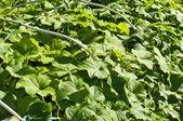 Growing cucumbers — Stock Photo