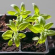 Young seedlings in germination tray — Stock Photo #39559639