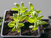 Young seedlings in germination tray — Stock Photo