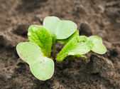 Seedling growing out of soil. — Stock Photo