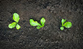 Green seedling growing out of soil. — Stock Photo