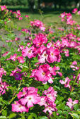 Beautiful rose bushes — Stockfoto