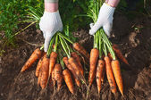 Harvesting carrots — Stock Photo
