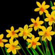 Daffodils on black — Stock Photo