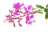 Willow-herb close up, isolated on white — Stock Photo