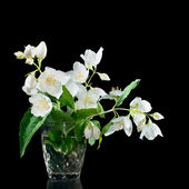 Bunch of jasmine flowers on a black background  — Photo