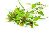 Bur-goudsbloem: bloemen, bladeren en zaden geïsoleerd op wit. — Stockfoto