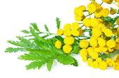 Kruid Boerenwormkruid geïsoleerd op wit. plant met bloemen close-up. — Stockfoto