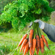 Harvesting carrots. Woman's hand with a bunch of carrots with to — Stock Photo #50975757