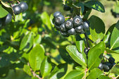Aronia berries on the bushes in the garden — Stock Photo