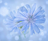 Blue chicory flowers on blurred background with bokeh. — Stock Photo