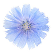 Blue chicory flower on a white background closeup — Foto Stock