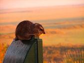 Ratto di savana — Foto Stock