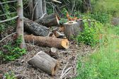 Cutting down trees for winter firewood — Stock Photo