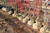 Burlap-balled trees ready for planting — Stock Photo