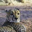 Cheetah resting — Stock Photo #24558671