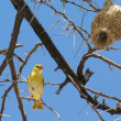 Stock Photo: Weaver bird