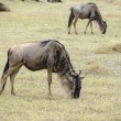 Wildebeest - Stock Photo
