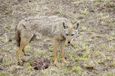 Golden jackal — Stock Photo