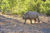 Rhino walking at dawn — Stock Photo