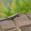 Desert plated lizard — Stock Photo