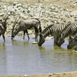 Foto Stock: Zebras and kudus at waterhole, Etosha, Namibia
