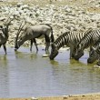 Stockfoto: Zebras and kudus at waterhole, Etosha, Namibia