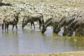Zebras and kudus at waterhole, Etosha, Namibia — Stock Photo