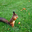 Park squirrel gnaws something on the lawn — Stock Photo