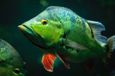 Perch - green fish with red fins — Stock Photo
