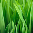 Fresh green grass close up — Stock Photo #35032861