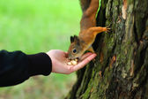 Squirrel eating in the hand — Stock Photo