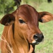 Red bull calf - Stock Photo