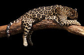 African leopard sleeping — Stock Photo