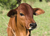 Red bull calf — Stock Photo