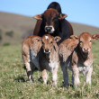 Bull and two calves — Stok Fotoğraf #38379435