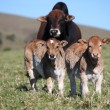Stock Photo: Bull and two calves