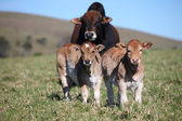 Bull and two calves — 图库照片