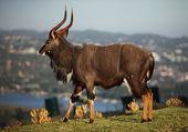 Nyala African Buck Walking — Stock Photo