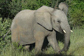 Young African Elephant bull — Stock Photo
